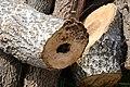 Cavités dans des bûches de peuplier blanc (30).JPG