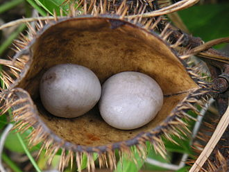 Nickernut - Nickernuts in fruit from G. bonduc