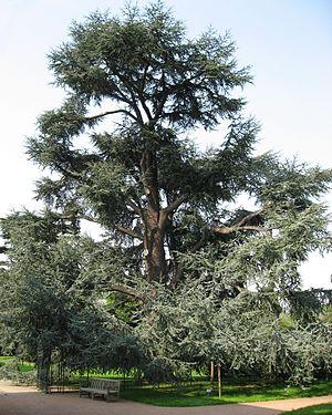 تعرف على جـبال الأطلـس(كسبان ولا خسران) 300px-Cedrus_libani_ssp._atlantica_'Glauca'_by_Line1.jpg