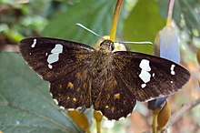 Celaenorrhinus putra Moore, 1865 – Restricted Spotted Flat - on Helicteres isora 03.jpg