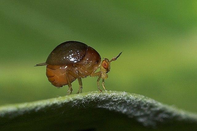 Celyphidae Beetle fly