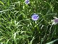 CentaureaCyanus-plant-kl.jpg