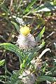 Centaurea eriophora (Peñón de los Enamorados, Antequera MA) (5).JPG