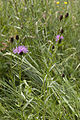 Centaurea jacea-subsp-grandiflora landouzy-la-ville 02 27052007 1.jpg