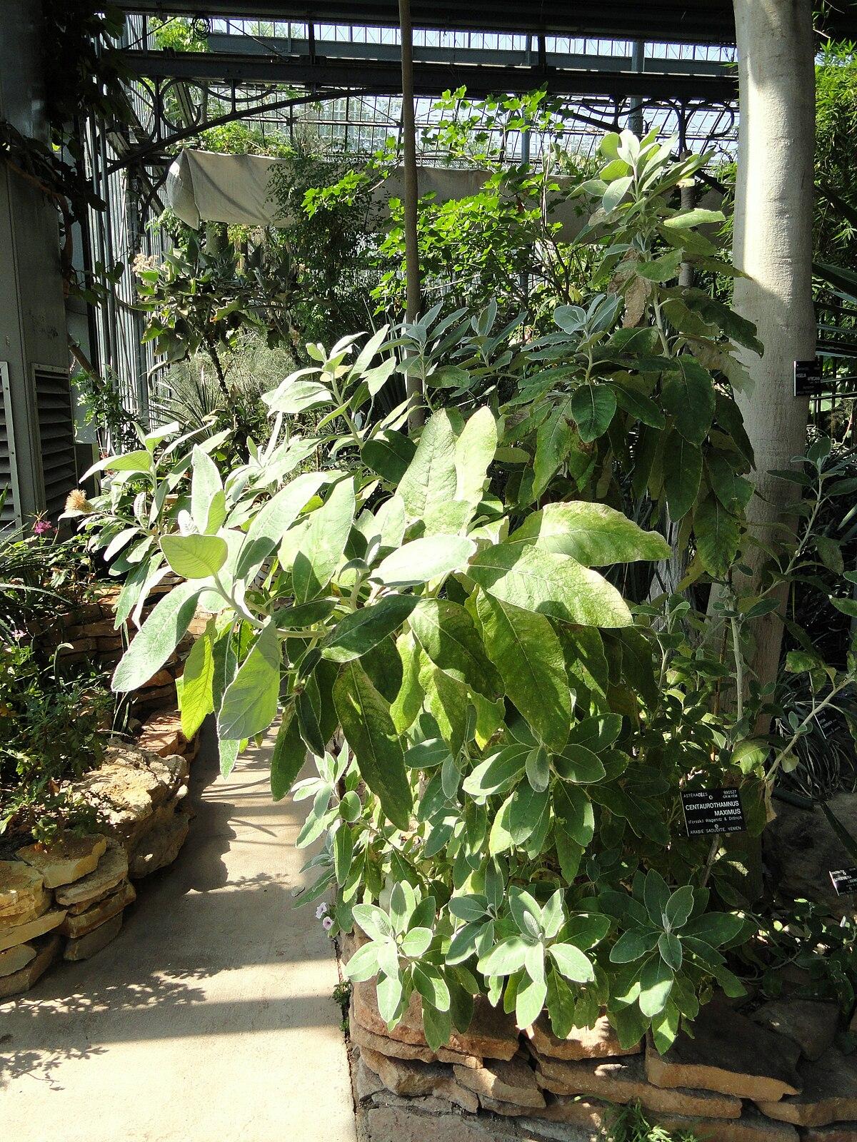 Centaurothamnus wikip dia a enciclop dia livre for Bal des citrouilles jardin botanique