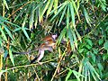 Central American Squirrel Monkey baby brightened.jpg