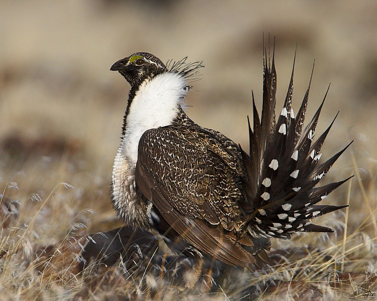The Greater Sage-Grouse, an endangered bird, sits peacefully on the ground.