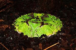 Ceratophrys cornuta 01.jpg