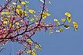 Cercis canadensis Point Pelee NP 2014.jpg