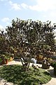 Cercis canadensis texensis 3zz.jpg