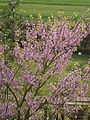 Cercis siliquastrum flowering 01.JPG