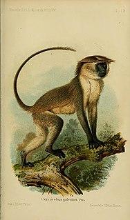 Tana River mangabey Species of Old World monkey
