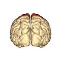 Cerebrum - frontal lobe - posterior view.png