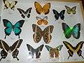 Cessapalombo - Il Giardino delle Farfalle - Teca.jpg