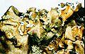 Cetrelia cetrarioides-2.jpg