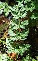 Chaerophyllum temulum leaf (06).jpg