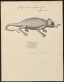 Chamaeleo vulgaris - 1700-1880 - Print - Iconographia Zoologica - Special Collections University of Amsterdam - UBA01 IZ12300031.tif