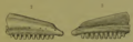 Chamops holotype maxilla.png