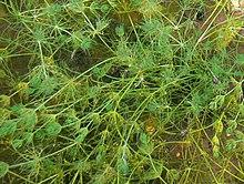 plante aquatique chara