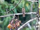 Фото рыже-коричневой птицы с бледным глазом