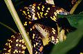 Checkerbelly Snake (Siphlophis cervinus) (10673797546).jpg