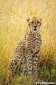Cheetah (112706399).jpeg