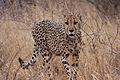 Cheetah (Acinonyx jubatus) (8604442100).jpg