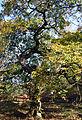 Chene Fau Verzy 23 10 2011 2.jpg