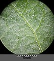 Chenopodium bonus-henricus sl21.jpg
