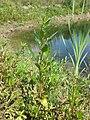 Chenopodium rubrum (s. str.) sl44.jpg