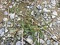 Chenopodium rubrum (s. str.) sl62.jpg