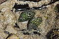 Chequerboard Snail - Cominella lineolata (24534373785).jpg