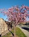 Cherry Blossom Tree.jpg
