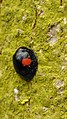 Chilocorus renipustulatus Kidneyspot Ladybird 2.jpg