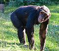 Chimpanzee (14679767561).jpg