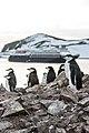Chinstrap Penguins Half Moon Island Antarctica 8 (46613408504).jpg