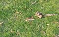 Chipmunk at grass field.jpg
