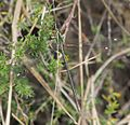 Chlorolestes draconicus 020453-2.jpg