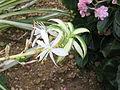 Chlorophytum comosum1.jpg