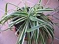 Chlorophytum comosum 01.jpg