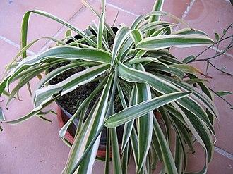 Chlorophytum comosum - C. comosum 'Variegatum'
