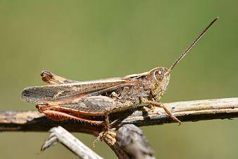 Chorthippus mollis male (31759976391).jpg