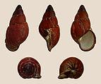 Chrysallis aspera melanogaster 01.JPG