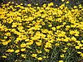 Chrysanthemum coronarium ap 10.JPG