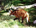 Chrysocyon brachyurus - Flickr - Dick Culbert.jpg