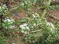 Ciboules-fleurs-graines.jpg