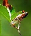 Cicada illinois summer of 2007.jpg