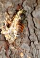 Cicada orni (Martigues, 2016.05).png