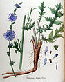 Cichorium intibus — Flora Batava — Volume v11.jpg