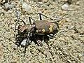 Cicindela hybrida (Carabidae sp.), Arnhem, the Netherlands.jpg